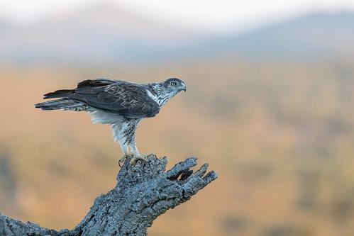 R18_8924 Bonelli's Eagle