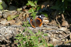 Red Admiral (Vanessa atalanta) - Photo of Taussac-la-Billière