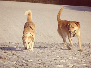 Hunde im Winter - Tarbek - Schleswig-Holstein - Germany
