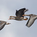 Greater White-fronted Goose (Anser albifrons) by Don Delaney