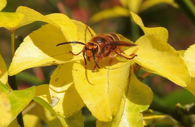 European Hornet (Vespa crabro)