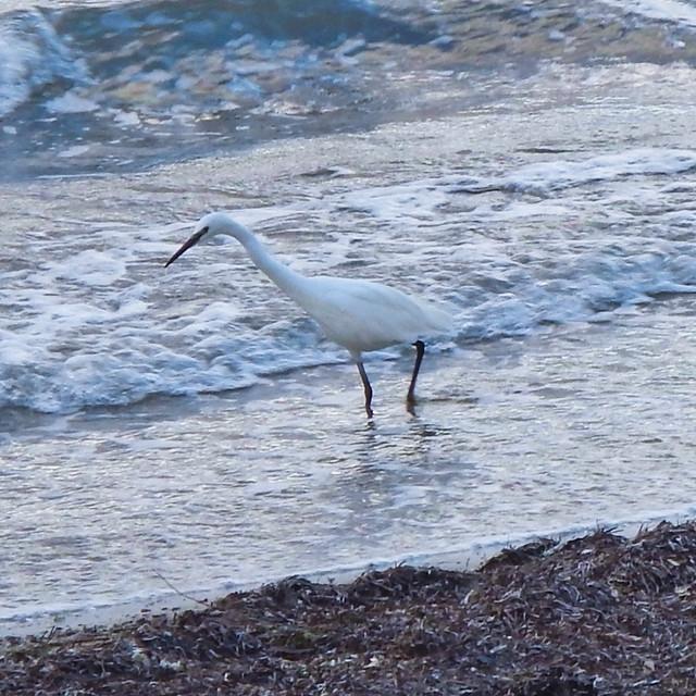 Common egret, Nikon COOLPIX AW110