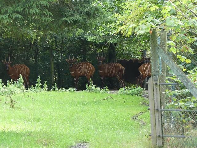 Bongos, Zoo Givskud