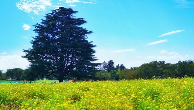 国営昭和記念公園〜コスモスまつり〜黄色の秋桜畑