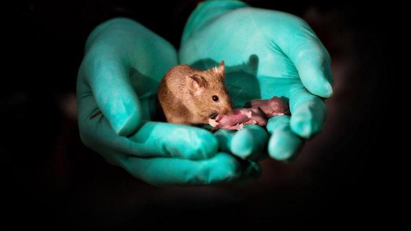 Foto ini menunjukkan tikus dewasa sehat yang lahir dari dua betina kini memiliki keturunannya sendiri
