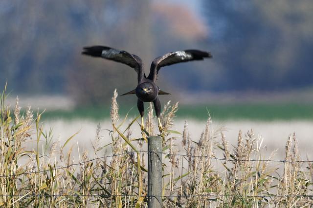 Common Buzzard (Buteo buteo) Ormvråk
