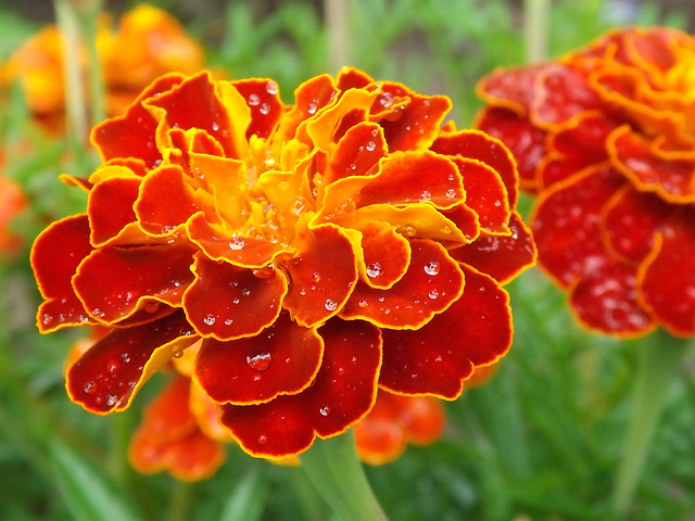 Marigold after the rain, Fujifilm FinePix S4500
