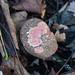 Autumn fungi: red cracking bolete