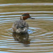 Common Teal --- Anas crecca ( in moult )