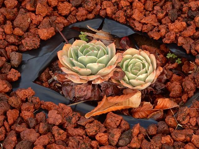 Succulents Among Stones, Nikon COOLPIX S9900