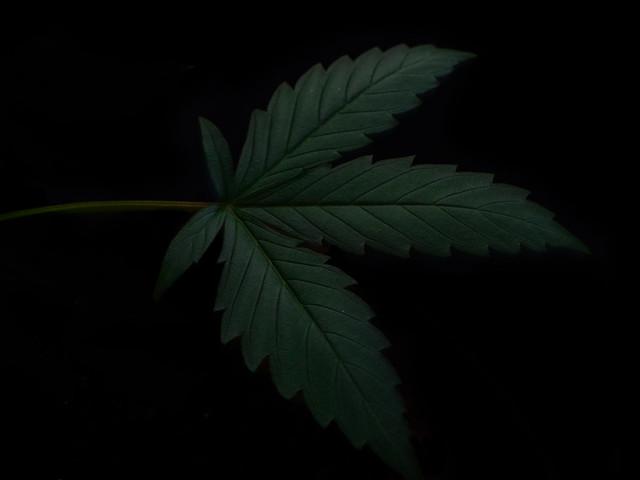 Weed marijuana, Nikon D3200, AF-S DX Micro Nikkor 40mm f/2.8G