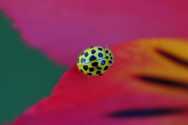 Ocober Visiter, The 22 Spot Yellow Ladybird (Psyllobora Vigintiduopunctata)