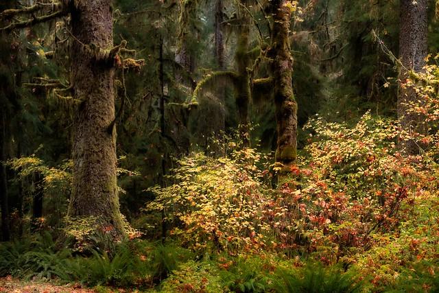 Autumn, Hoh Rain Forest