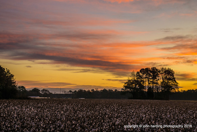 December Cotton