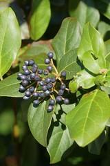 Laurustinus (Viburnum tinus) fruits