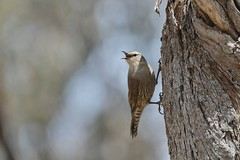 Brown Treecreeper ( over here )