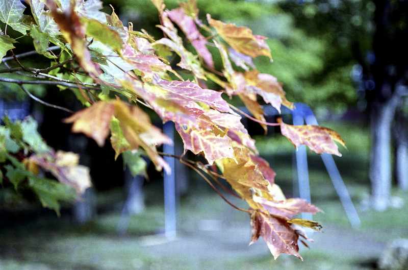 Changing Leaves_