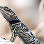 Yarrow's Spiny Lizard ♂ (Sceloporus jarrovii)