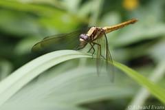 Female blue marsh hawk dragonfly (Orthetrum glaucum?)