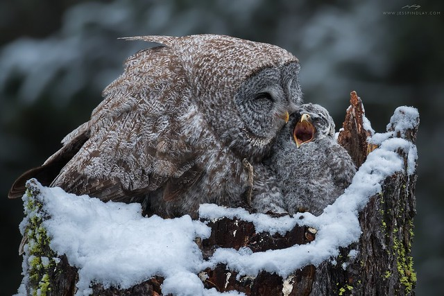 Great Grey Owls - Snowy Morning at the Nest