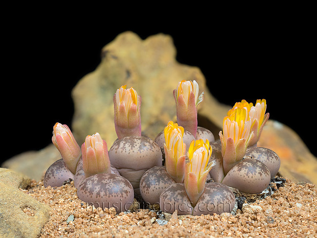 Lithops Coleorum