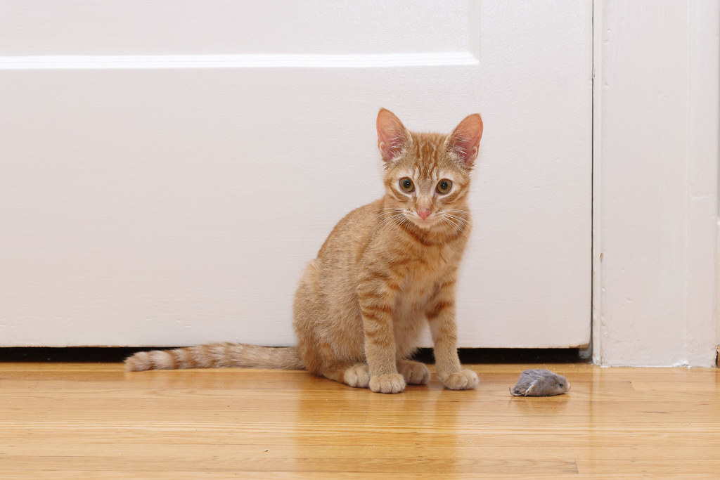 Our kitten Sam sits in front of the door of the guest bedroom beside a toy mouse