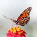 Butterfly by Drachenfanger