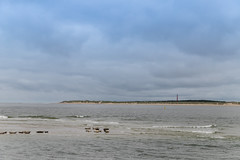 Seals in front of Ameland