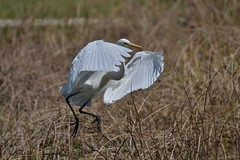 Great Egret  ( Just a little hop )