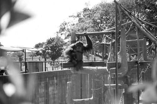 Parent and child of orangutan