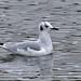 Bonaparte's Gull_128A4504