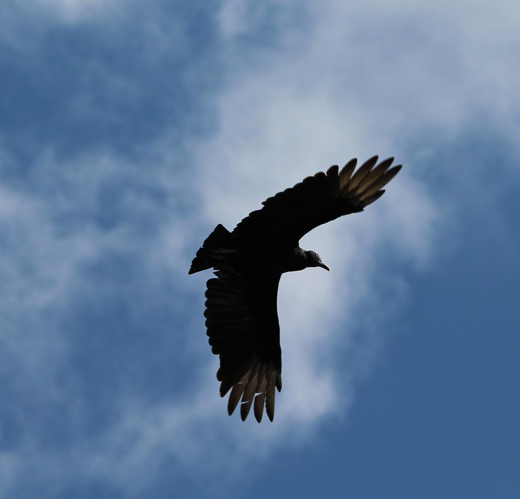 Black Vulture Ft Worth Nature Center 10-18