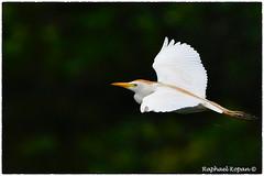 Cattle egret (EXPLORE, 10-10-18, #15)