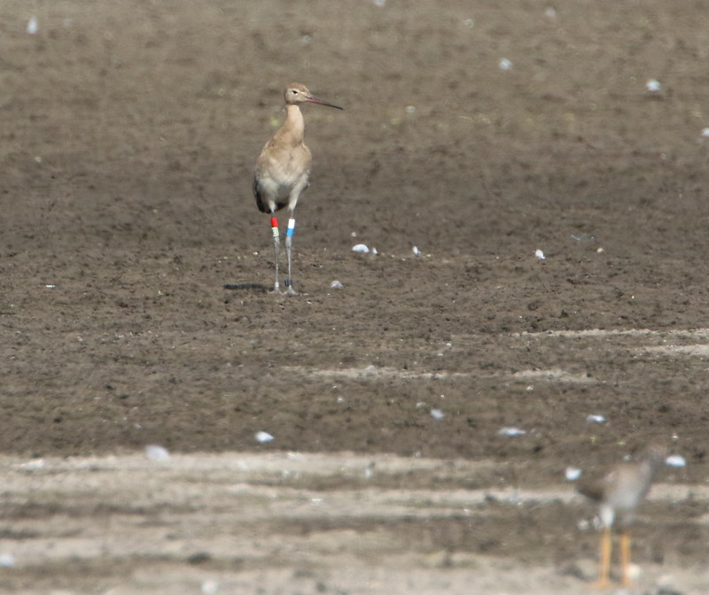 Fledged juvenile from headstarted female Earith at Ouse Washes - Jonathan Taylor RSPB