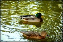 Couple de canards - Photo of Ponteilla