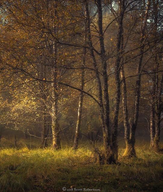 Tulla Trees