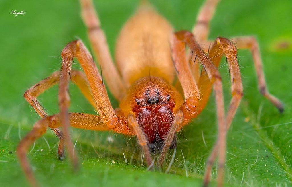Sac spider, Clubionidae