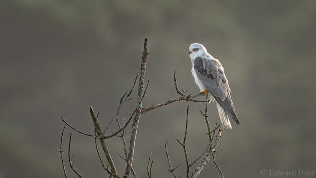 White-tailed kite (Elanus leucurus), Nikon D500, AF-S VR Nikkor 600mm f/4G ED
