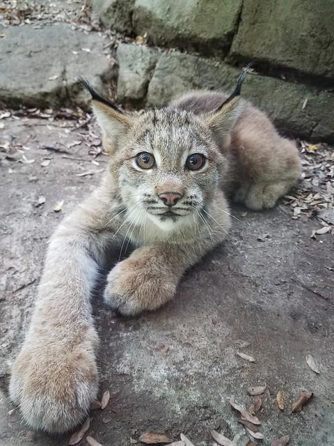 Lynx kitten Pittsburgh zoo