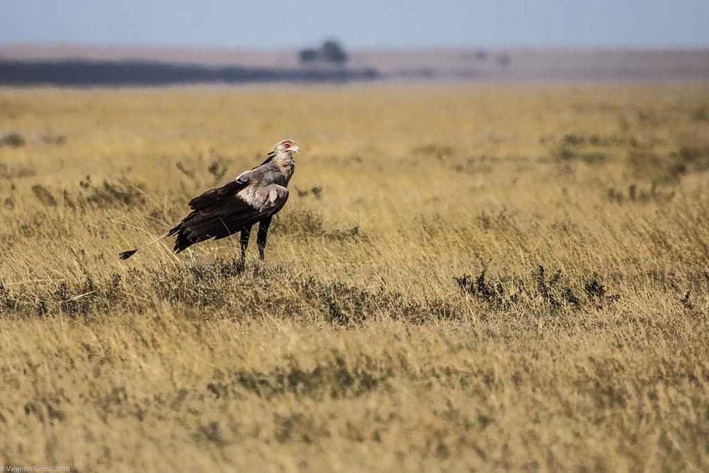 Serengeti_17sep18_17_secretarybird4