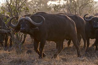 Young Shawu Bull