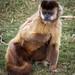 Posing Capuchin Monkey