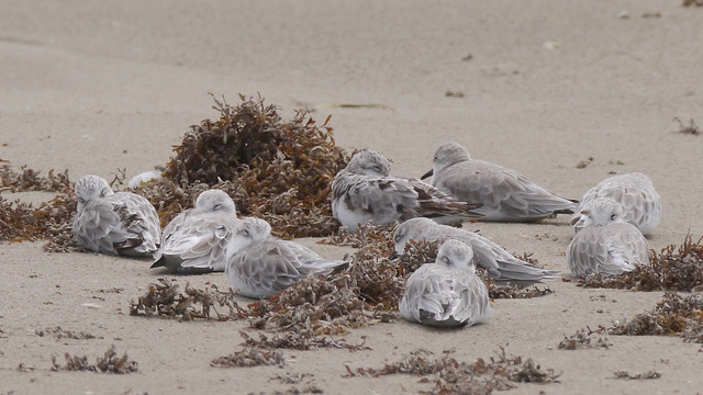 Sleeping Sanderlings