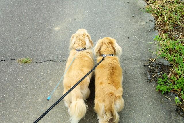 ダイエット中でしっかり散歩する犬