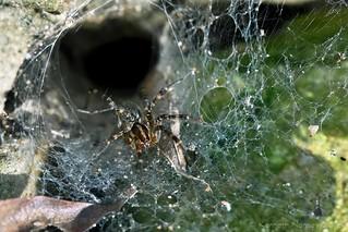 GRASS SPIDER 2