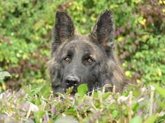 The Voie Sacree guard dog.