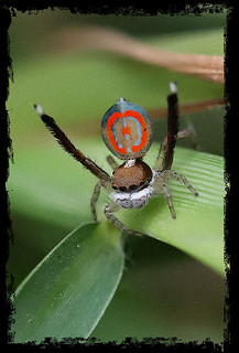 peacock spider, ...