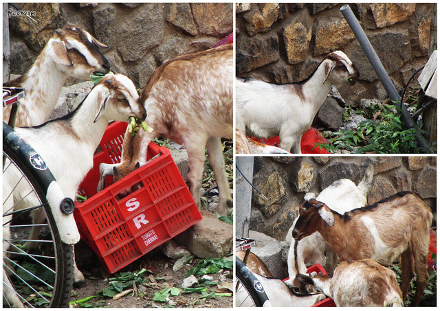 Goats from neighbourhood