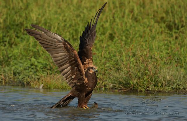 Falco di Palude - Marsh Harrier