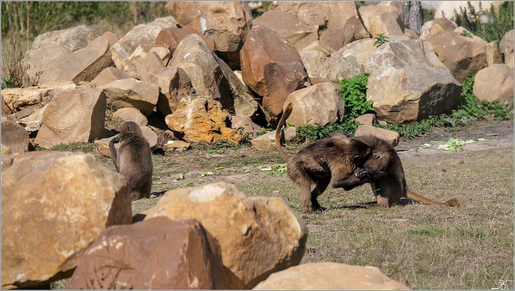 Terre des singes part4 45004069561_b4b3435b5d_b